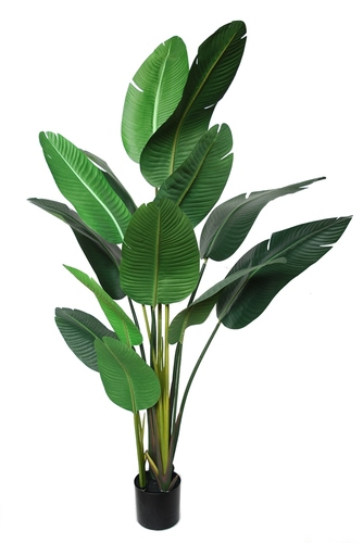 Strelizia Plant w pot 190 cm Green